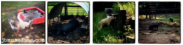 city farm animals